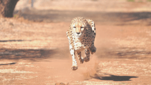 When you are close to your aim, run like a cheetah